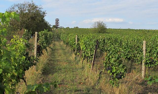 vinice Modré hory