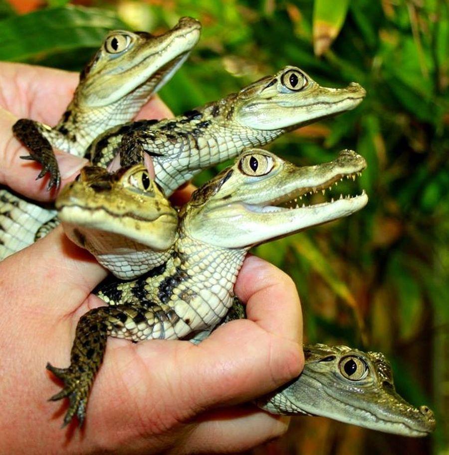 Mláďata kajmana brýlového v krokodýlí zoo