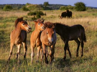 Hříbata Exmoorských pony