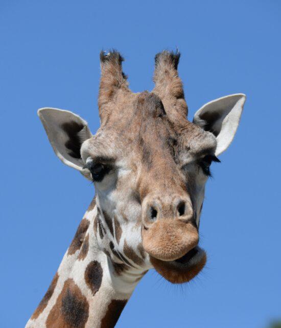 V zoologické zahradě Olomouc na Svatém kopečku bydlí i žirafy