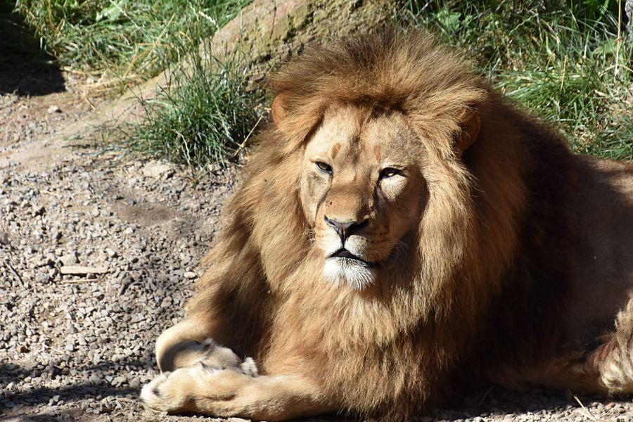 Kočkovité šelmy v ZOO Plasy berou návštěvníkům dech - jako tento majestátní lev