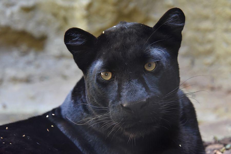 V ZOO Plasy bydlí i tento krásný černý panter