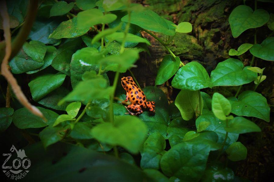 Pralesniška drobná, Zoo Na Hrádečku