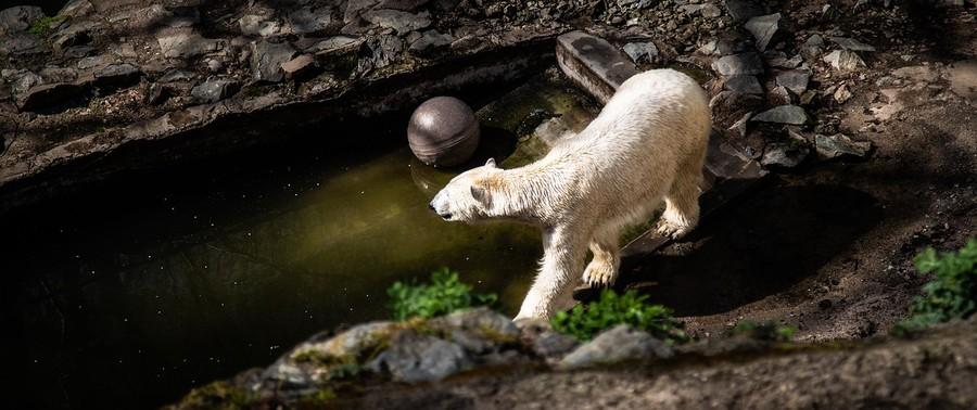 Brněnská zoologická zahrada s ledním medvědem