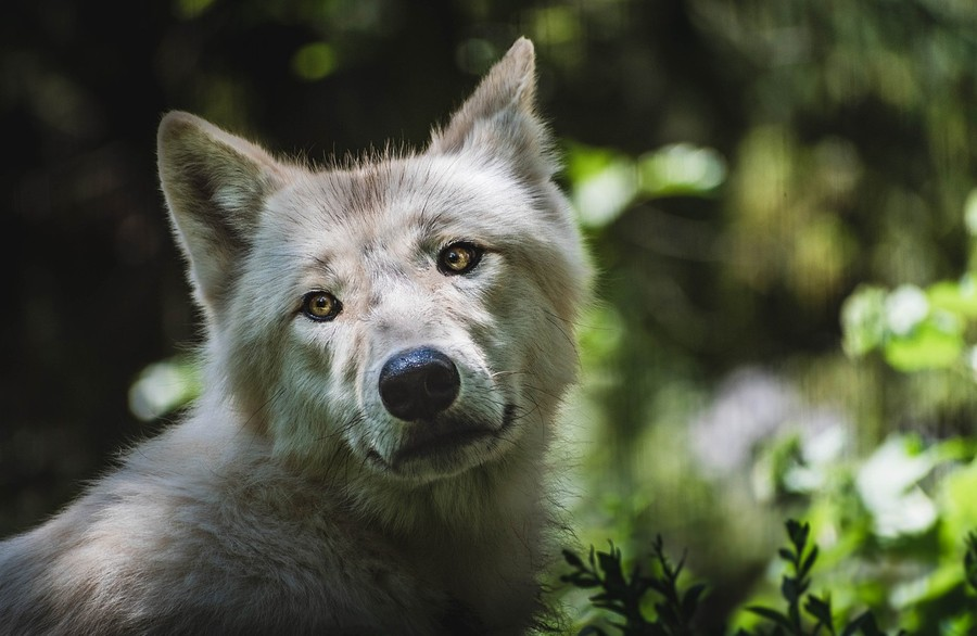 Vlk z brněnské zoologické zahrady