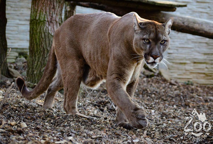 V Zoo Na Hrádečku bydlí i Puma americká