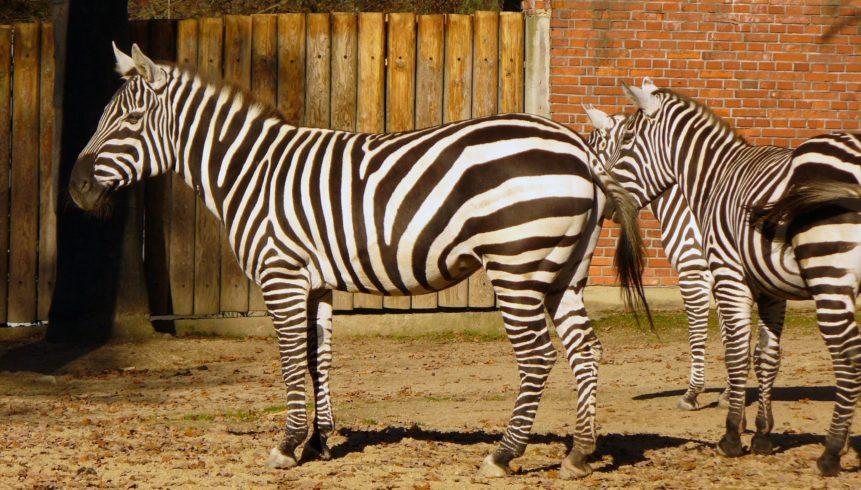 ZOO Liberec a jejich zebry
