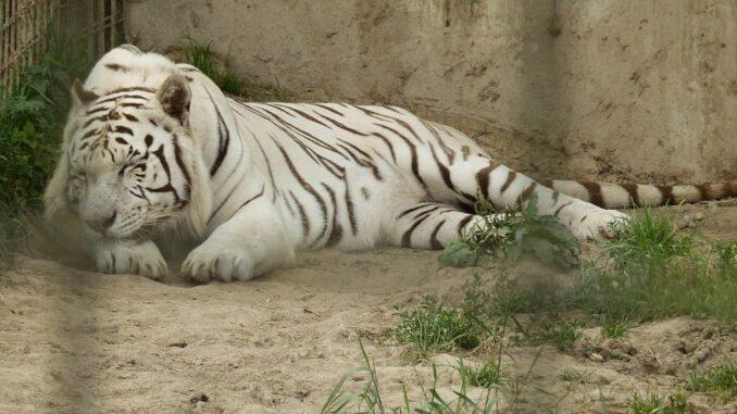 Tygr bílý v ZOO Dvorec