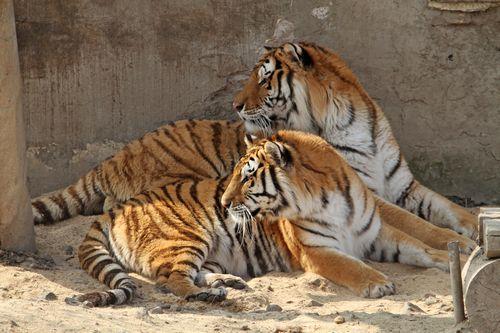 Ringelland Habrkovice má tygry sibiřské