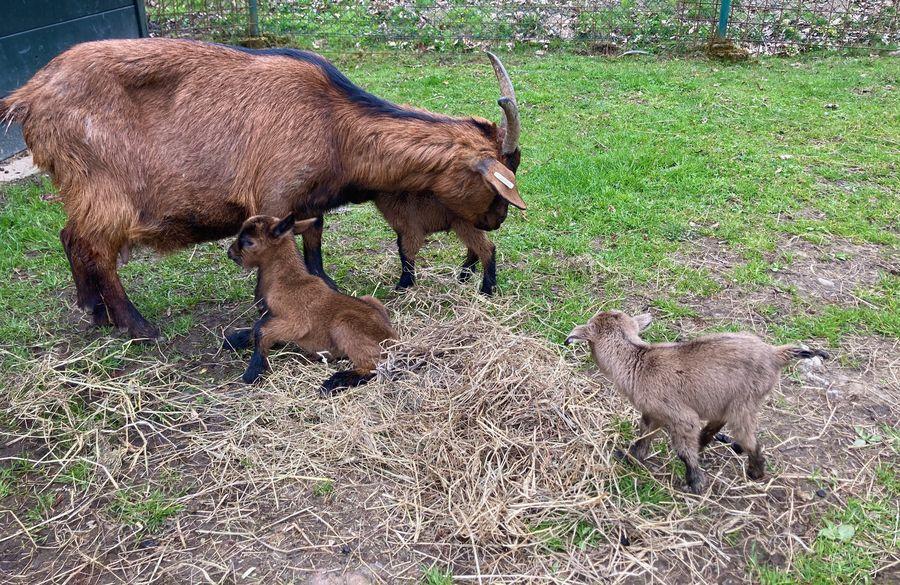Zámek Častolovice má v zoo zakrslé kozy