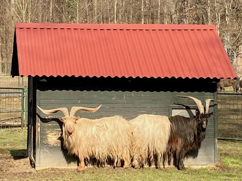 Koza Walliserská v zámecké zoo Častolovice