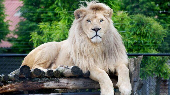 Zoopark Karlštejn. bílý lev Leon