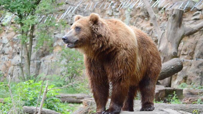 Medvěd kamčatský v ZOO Děčín