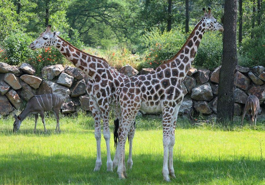 Žirafy. Zoologická zahrada Plzeň