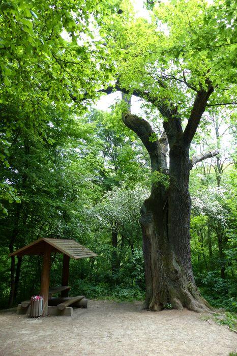 Památný strom Dub u dvou bratří (Dub sedmi bratří). Foto: Antonín Skryja