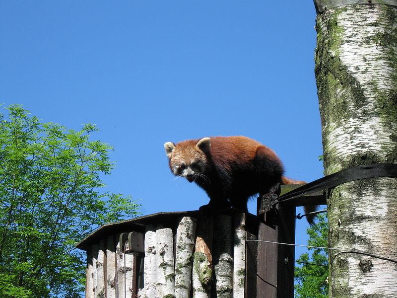 Zoologická zahrada Ostrava – panda červená. Zdroj: Lukáš Mižoch (CC BY 3.0)